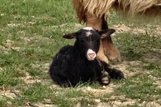 Beautiful white nosed lamb