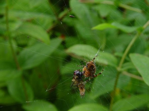 Spider Eating a Wasp