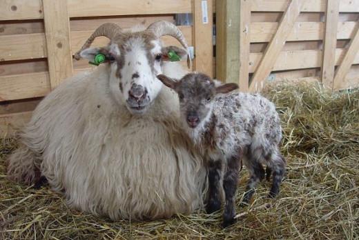 Lovelygreyish brown lamb