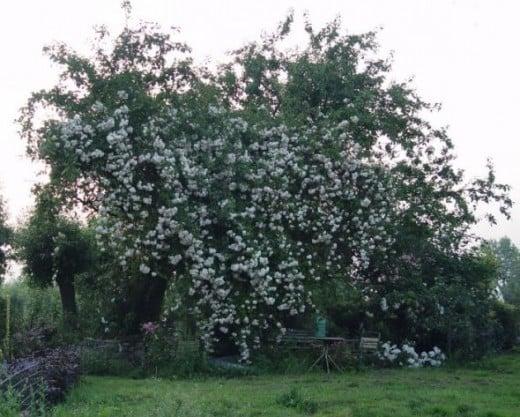 Rose Mme. Legras de St. Germain climbing in an apple tree.