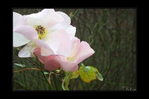 Rose Souvenir de St. Anne