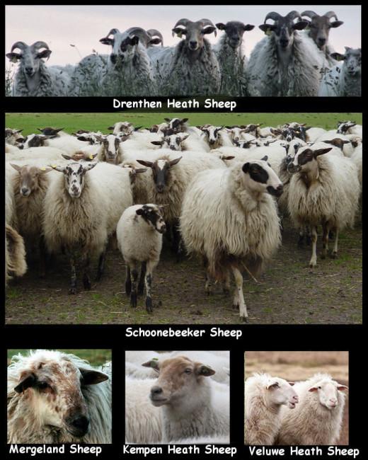 5 Dutch native sheep breeds