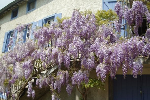 Wisteria in France at Le Moulin