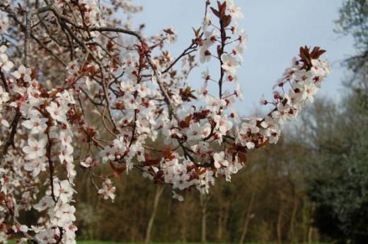 Plum Blossom Le Moulin