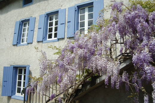 The wisteria in springtime