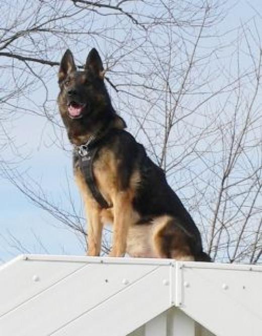 Dog on dog house