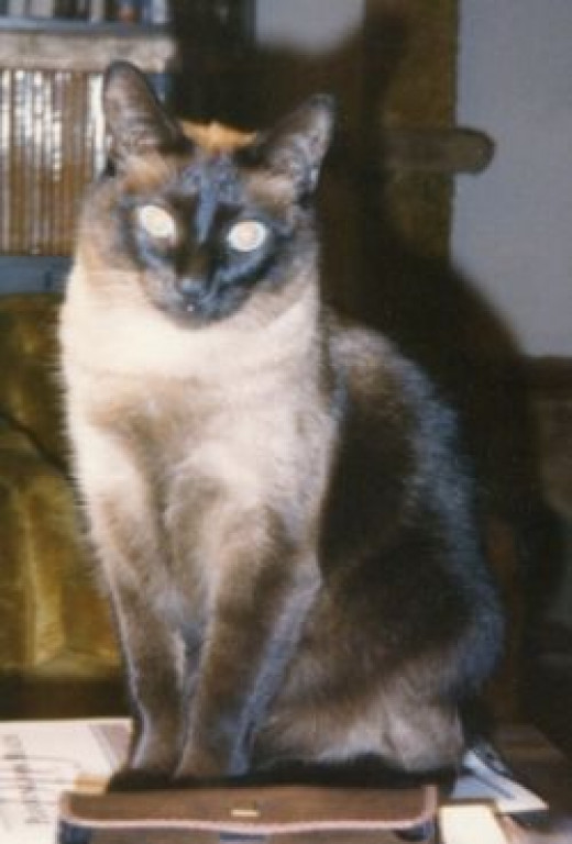 Rascal the adult Siamese