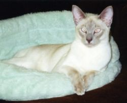 Maggie, lilac point Siamese