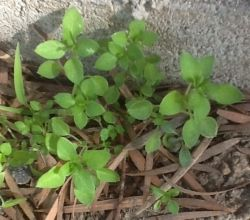 I took this picture of some chickweed growing on a sidewalk in Carson.