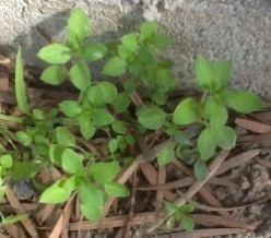 Chickweed - A nutritious edible weed