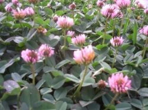 This patch of red clover was in the yard of one of my neighbors