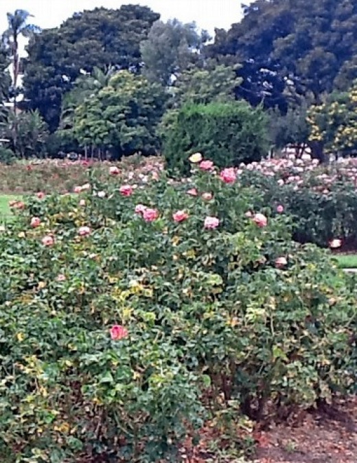 Some of the thousands of rosebushes in the garden.