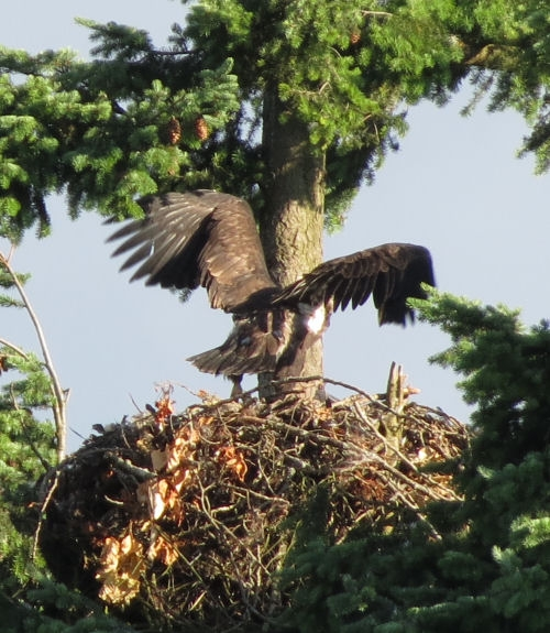 Evening picture of the American Bald Eaglet