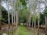 Rubber tree plantation during tapping season