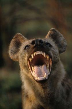 The Arican Hyena jpg3