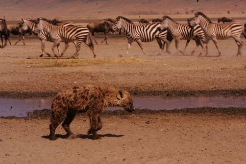The Arfican Hyena jpg 5