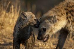 hyenas jpg 9