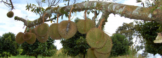 In the common durian (Durio zibethinus), the tree bears fruits on branches which are big enough to support the weight of the fruits.