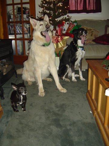 Pharaoh, My White Shepherd Dog Celebrating Christmas With Friends!