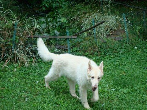 Pharaoh, My White German Shepherd With EPI