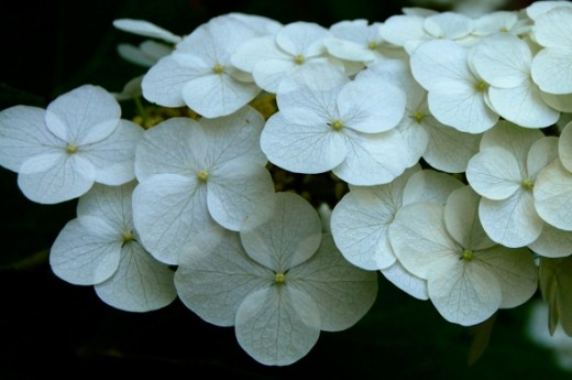 This picture of white flowers is just lovely.  You can see such detail in these tiny blossoms.