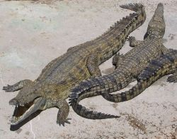 Here's a picture of a Nile Crocodile.  Compare it to the picture of the Alligator and see if you can spot any of the differences in them.  This picture is from Wikipedia and you can find out more about it by clicking on it.  The crocodile picture is
