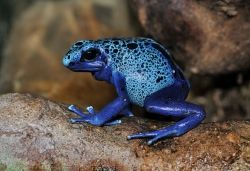 The Poison Dart Blue Frog Image Is From Wikipedia and is used with the Creative Commons Attribute - click picture for more info.