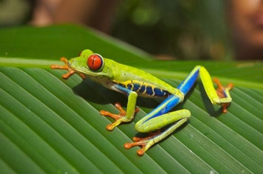 This picture of the red eyed tree frog is in the Public Domain and I got it from wikipedia.  Click to find out more about this image.