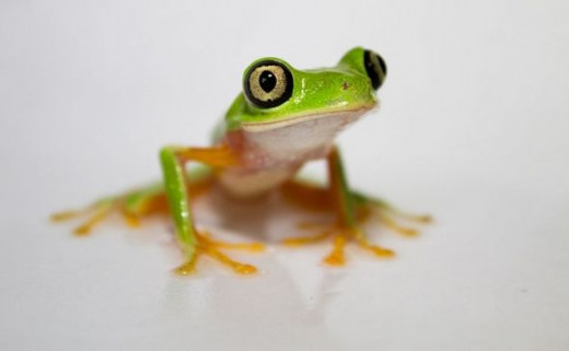 Lemur Leaf Frog Image is from Wikipedia and this image is in the public domain.