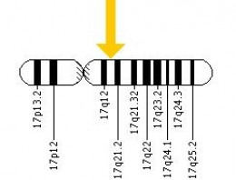 Where Is The BRCA1 Gene Found?