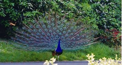 The Beautiful Colors Of A Peacock