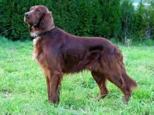 This Red Setter Was Bred To Find Birds And Point To Them For The Hunters.  This picture of the red Irish Setter is from Wikipedia and used under the terms of the GNU Free Documentation License