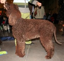 The Dog Pictured Here Is An Irish Water Spaniel.  These water dogs are a breed that needs lots of exercise, something to consider before choosing one as a pet.  This picture is from Wikipedia and used under the Creative Commons Attribution-Share Alik