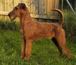 This picture of the Irish Terrier is from Wikipedia and used under the Creative Commons Attribution 3.0 Unported license.
