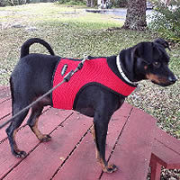 Chota's (Miniature Pinscher) mom doesn't worry on walks.