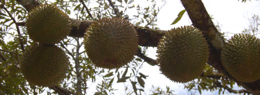 Don't stray directly beneath a bunch of spiky durians. The fruit is heavy with sharp thorns and can dash your brains out.