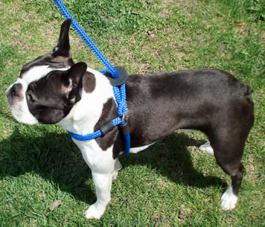 Booker (Boston Terrier) in the blue