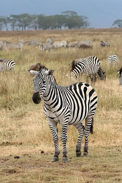 Here's a picture of a Plains Zebra,  Equus quagga,  I found on Wikipedia.  It shows the beautiful striped pattern we see on the party supplies on this page.  The Zebra is a fine looking animal.  This image is being used under the GNU Free Documentati
