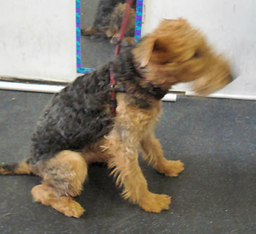 Devin (Airedale Terrier) showing the custom fit every time you use it.