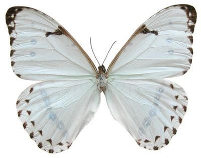 Butterfly Picture Of A MORPHO Catenarius