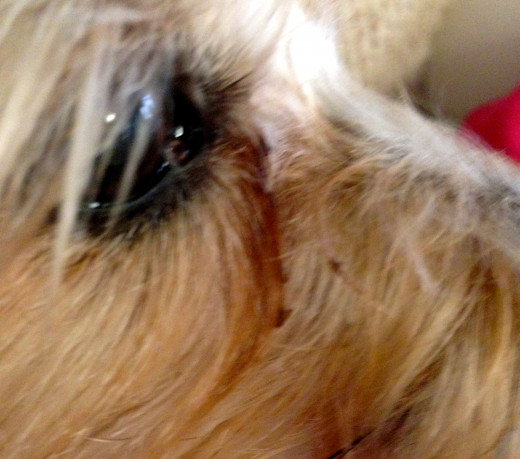 Another shot of the increased amount of eye drainage taken in mid-April.