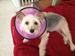 """LolaBelle wearing her """"cone of shame."""""""