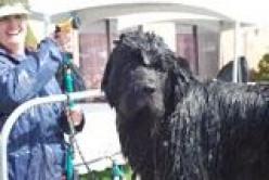 Bath Day for Your Newfoundland Dog