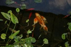 Goldfish in pond