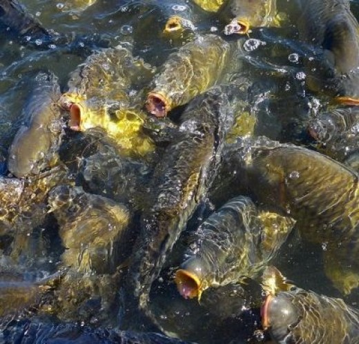 Lake Mead Carp Frenzy
