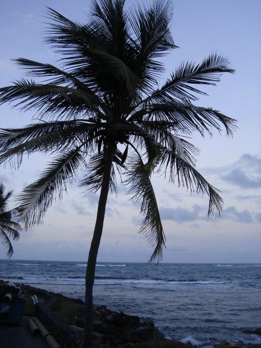 Coconut Tree on Caribe Property