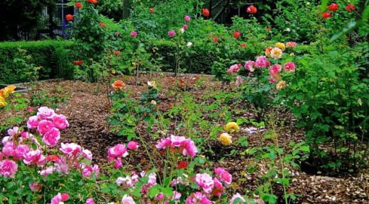 English rose garden.