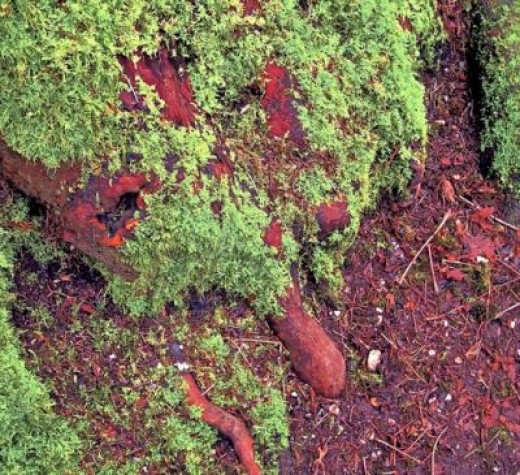 Polished Roots in High Contrast to Mossy Coating