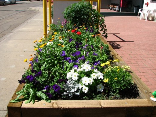A variety of flowers, plus a tomato plant, in the second plot one of our members signed up for.