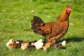 Common Chicken Health Problems